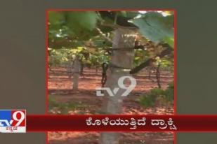 Huge Loss To Farmers On Grapes Plants Are Rotting At Koppal On Lockdown Issue
